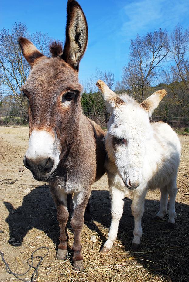 Les ânes du parc animalier proche de Ganges - Visite d'une mini ferme dans l'Hérault