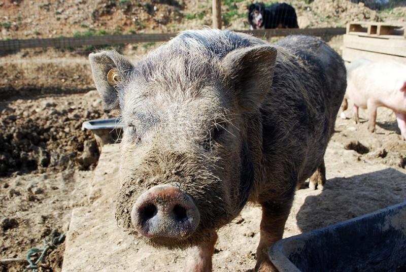 Les cochons de la ferme pour enfants à Montpellier - Visite d'une mini ferme dans l'Hérault