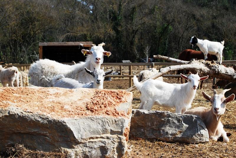 La famille chèvre de la mini ferme à Combaillaux - Visite d'une mini ferme dans l'Hérault