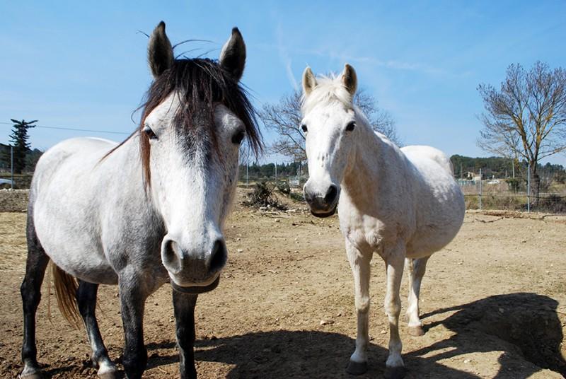 Les chevaux du parc animalier de Combaillaux - Visite d'une mini ferme dans l'Hérault