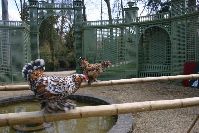 Les poules au Potager des Princes