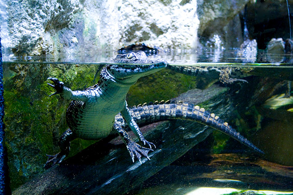 Photos aquarium. Une photo de l'aquarium de la porte Dorée à Paris. Un petit crocodile.