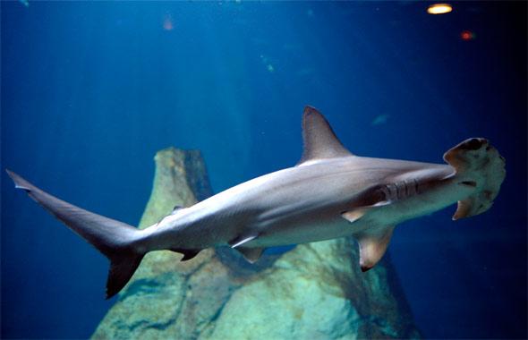 Le requin marteau. Le Musée de la mer à biarritz pour les enfants. Photo de Laurent Garcia.