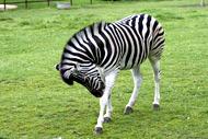 Animaux en photos. Le zèbre au parc zoologique de la Bourbansais en Bretagne.